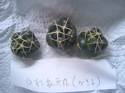 白象牙丸カキ wom産.jpg