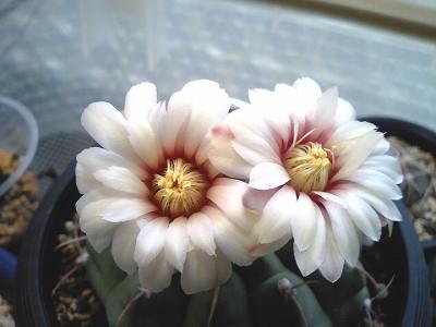 バッテリー花.jpg